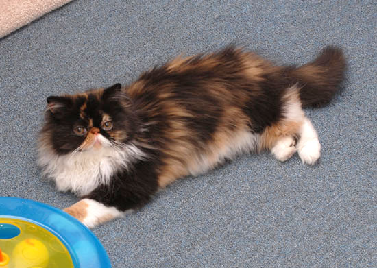 calico persian cat. Calico Persian